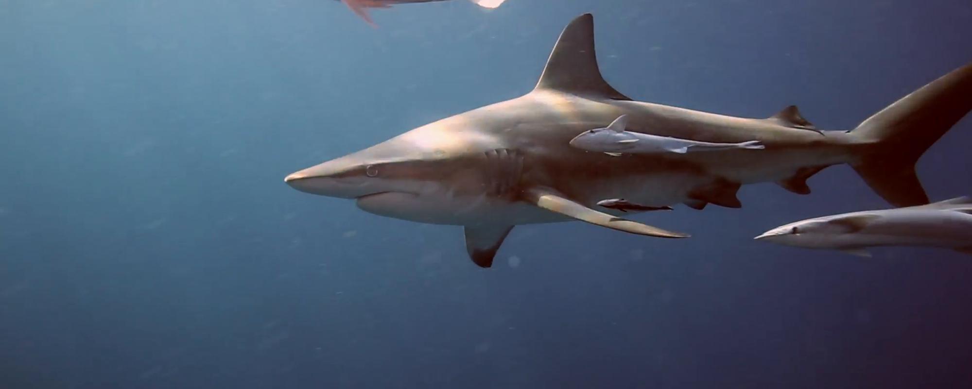 Shark Diving Aliwal Shoal Trip